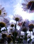 foto margaritas con rayo sol (2)